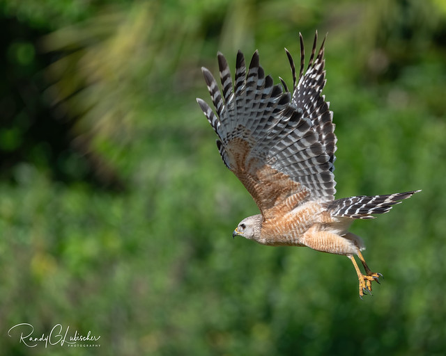 Red-shouldered Hawk | Buteo lineatus | 2021 - 16
