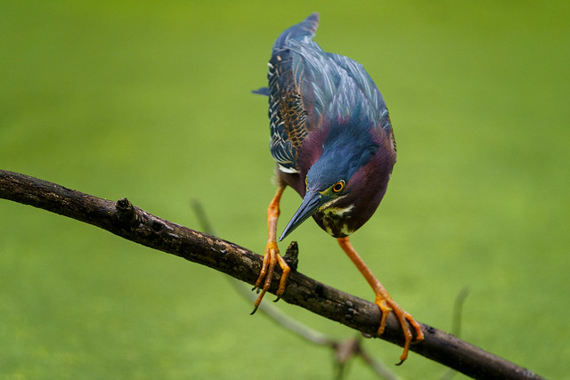 A Green Heron looks for its next meal.