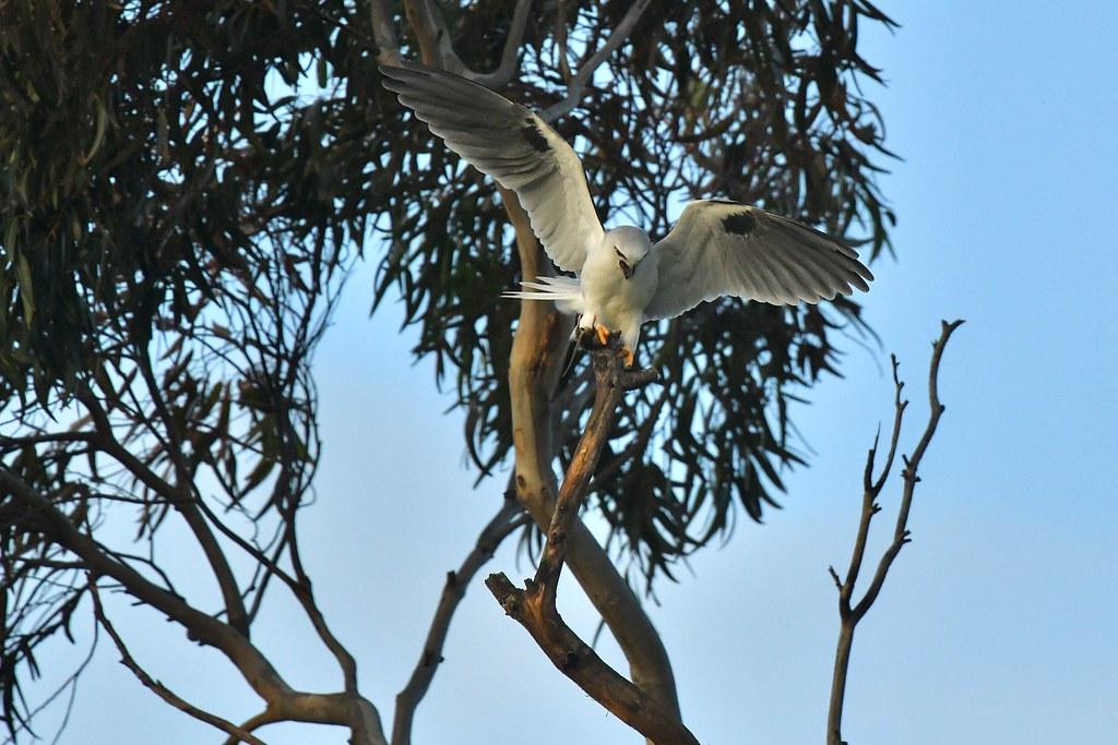 Black - shouldered Kite