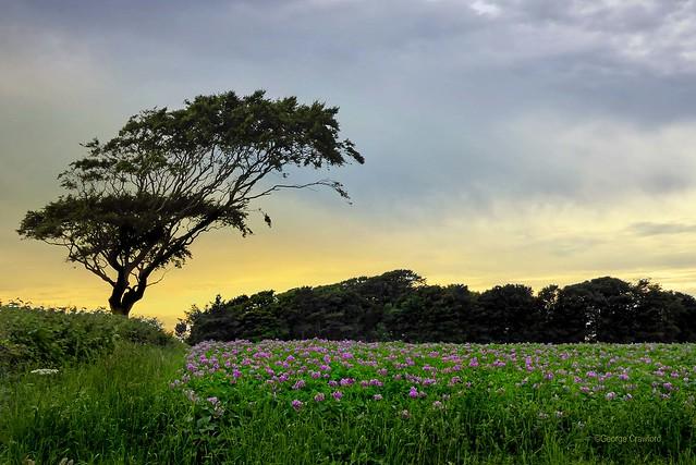 Flowering Potato Field