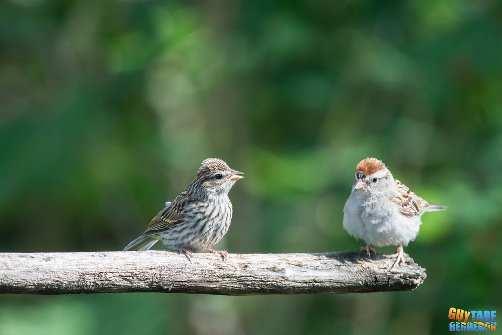Chipping sparrows (parent and juvenile) - Bruants familiers - Spizella passerina