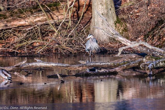 Great Blue Heron #2 - 2021-03-20