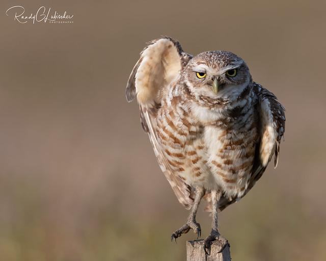 Burrowing Owl | Athene cunicularia | 2021 - 22