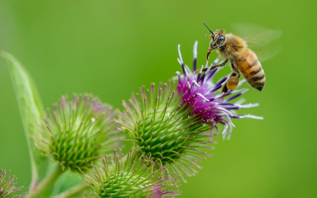 Bee on Carduus crispus Guirão ex Nyman