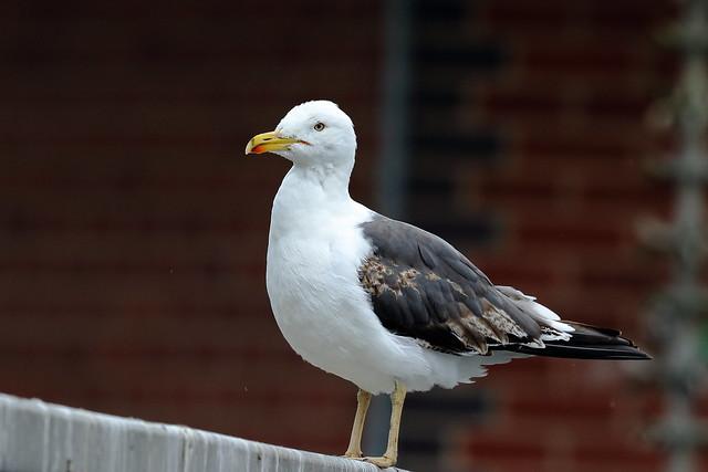 Lesser black-backed Gull (Larus fuscus) Cropston Reservoir July 2021