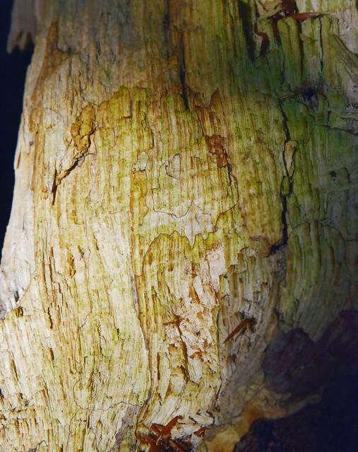Verwittertes Eschenholz (Fraxinus excelsior); Bergenhusen, Stapelholm