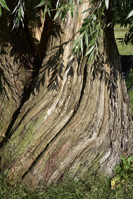 Stamm einer Silberweide (Salix alba) an der Eider in Stapel (2)