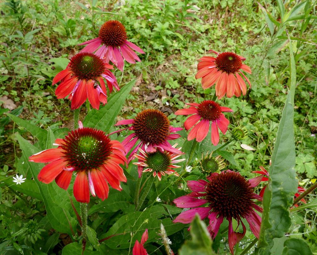 Au jardin, rudbekies pourpre (Echinacea purpurea), Bosdarros, Béarn, Pyrénées Atlantiques, Nouvelle-Aquitaine, France.