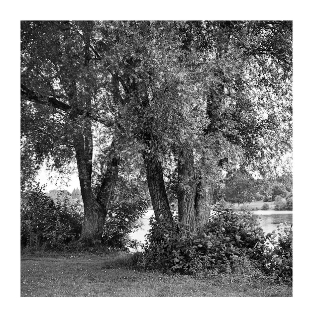 Old willow trees