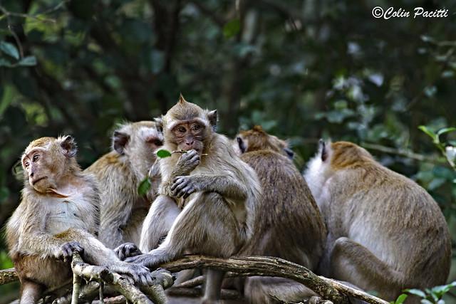 macaque troop ........Explored