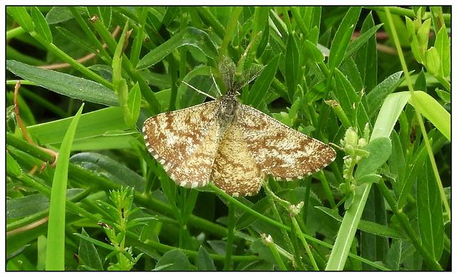 2021-0501 - Common Heath Moth, Collyweston Quarries, Northants.
