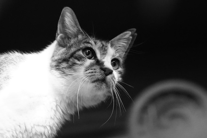 121Sony α7Ⅱ+TAMRON 28 200mm f2 8 5 6 RDX南池袋三丁目法明寺の猫 キジ白