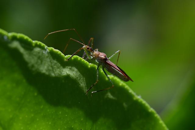 Leafhopper Assassin