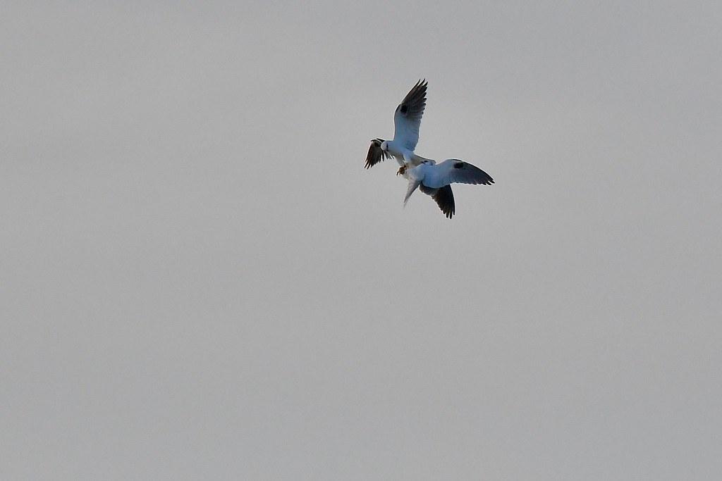 Black- shouldered Kites