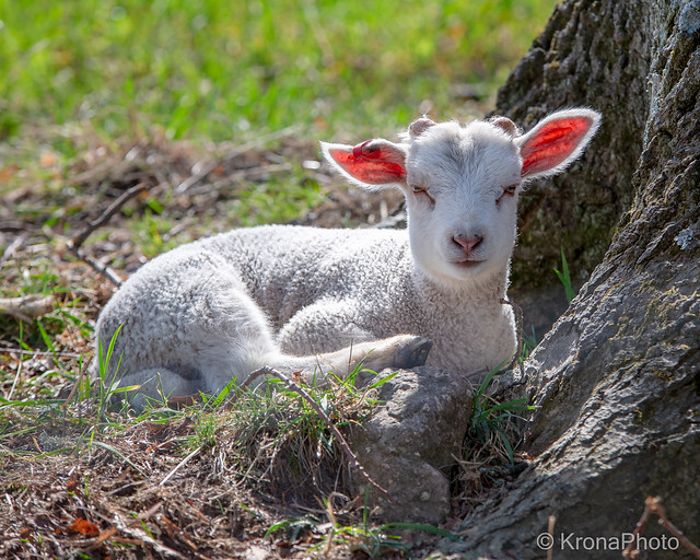 Sleepy lamb, Åsgårdstrand, Norway