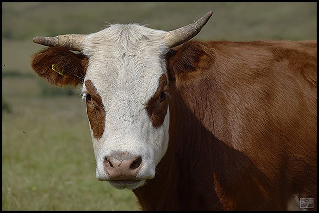 What you Looking at,Hereford Cow,Staffordshire Moorlands.
