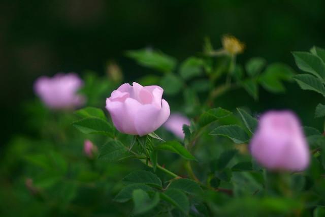 Шиповник / Wild rose (9)