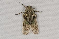 Calyptoproctus sp. Planthopper