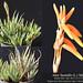 Aloe humilis (collage)