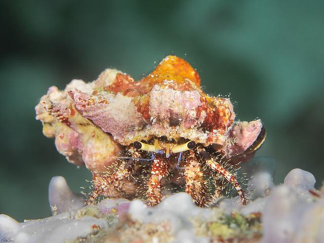 Hairy Red Hermit Crab - Dardanus lagopodes
