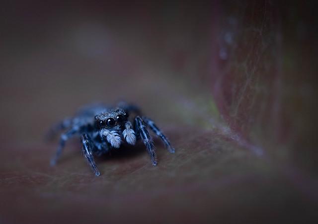 Jumping Spider (#2)