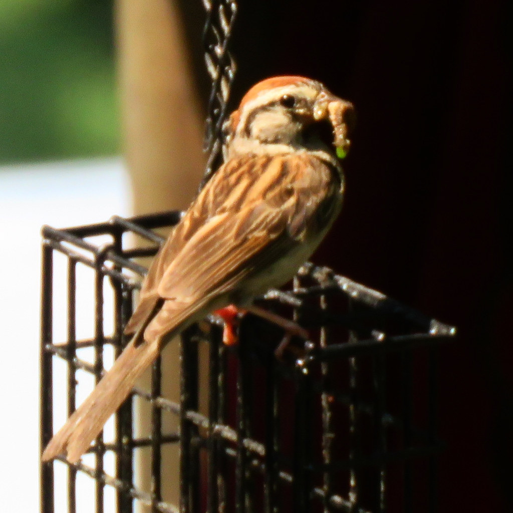 Chipping Sparrow brings his own breakfast! 😂❤️