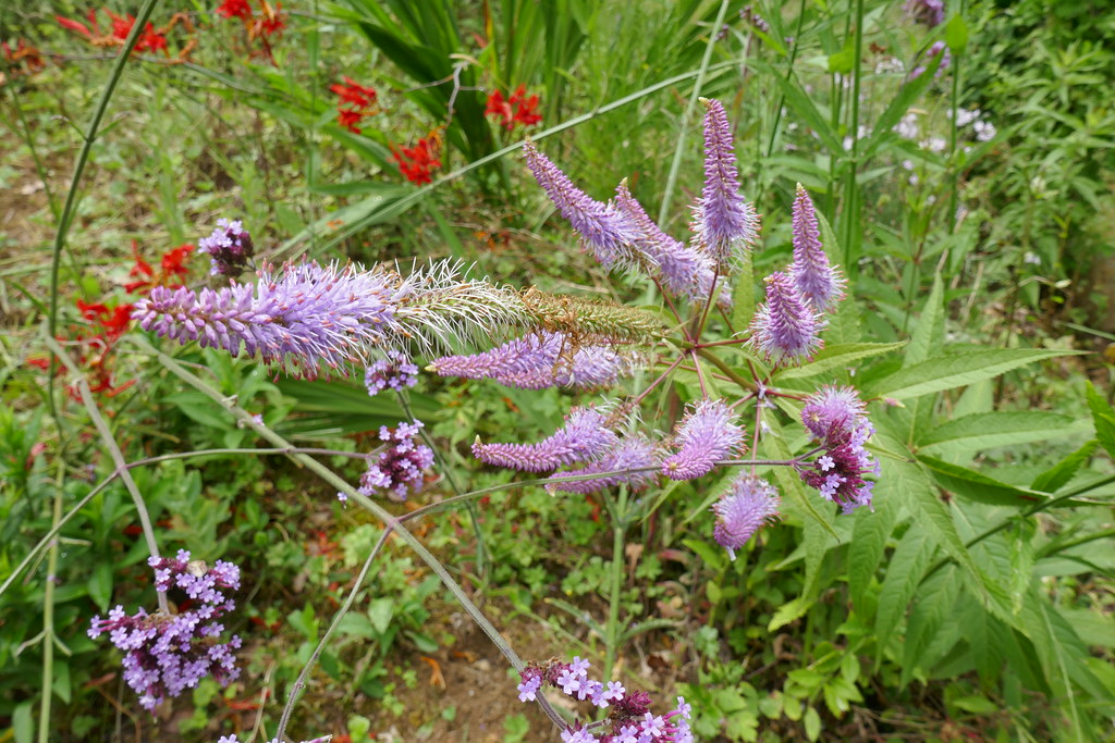 Au jardin, véronique de Virginie (Veronicastrum virginicum), Bosdarros, Béarn, Pyrénées Atlantiques, Nouvelle-Aquitaine, France.