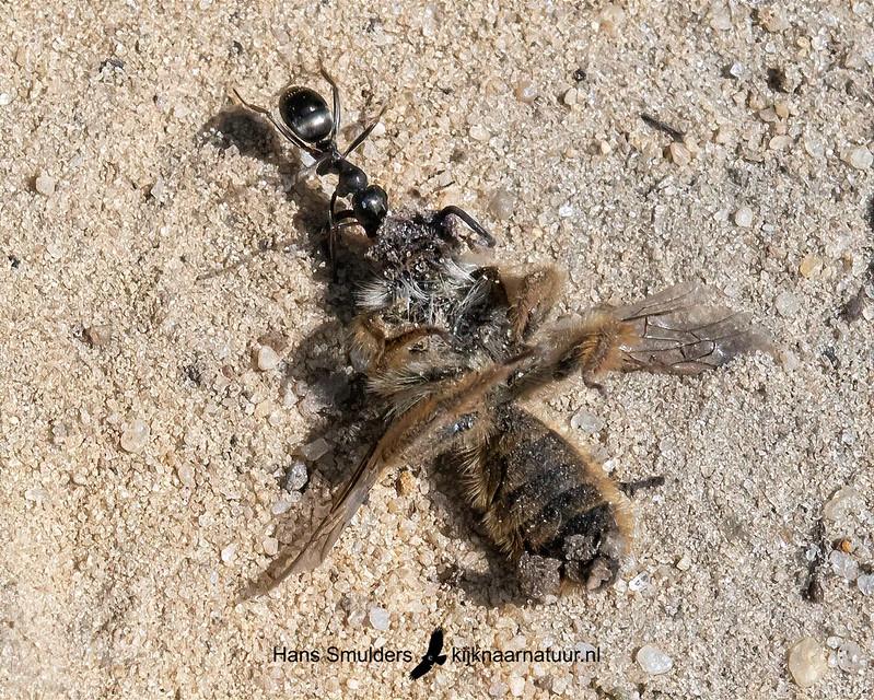 wegmier (Lasius niger)-850_4576