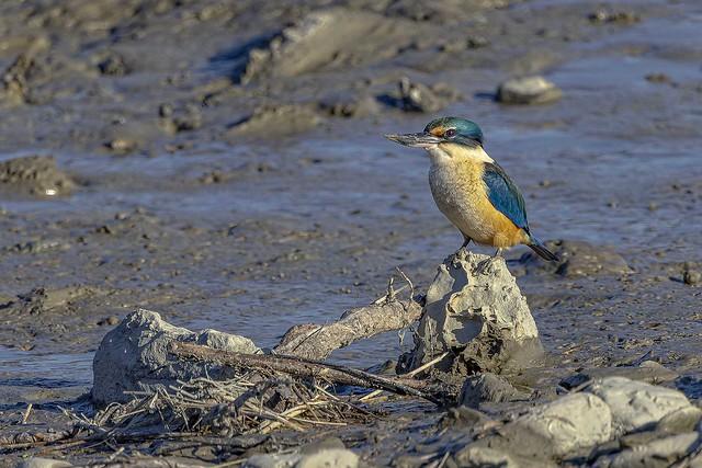 New Zealand native Kingfisher   IMG_1271