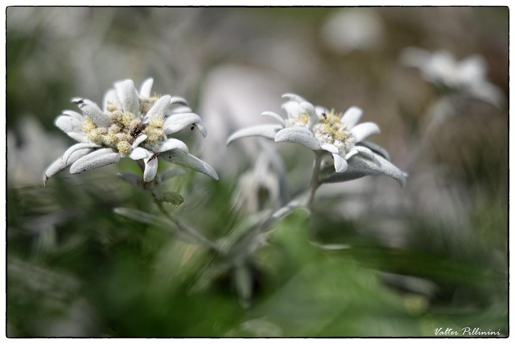 Stella alpina - Edelweiss