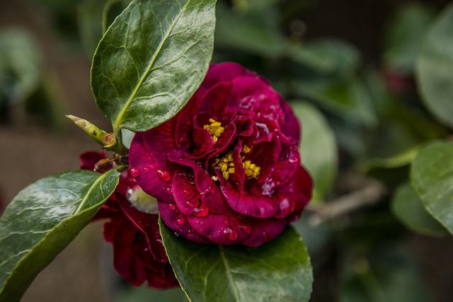 Rosa dark
