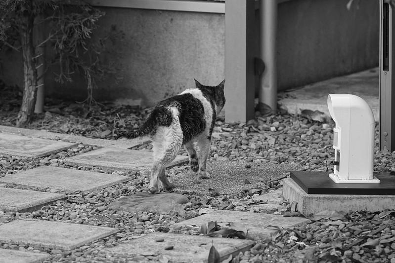 111Sony α7Ⅱ+TAMRON 28 200mm f2 8 5 6 RDX雑司ヶ谷三丁目鬼子母神参道キアズマ珈琲の猫 キジ白