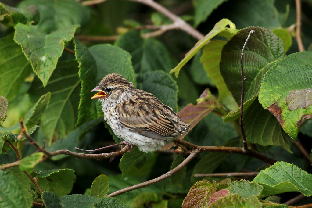 Juvenile Chipping Sparrow - Fort Foster - 7/30/21