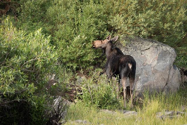 Cow Moose browsing