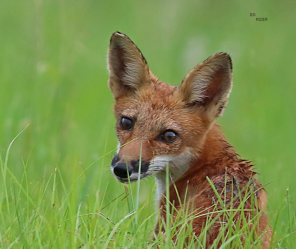 Sparky the RED FOX Pup gives me an inquisitive look. The Beauty Of God's Creation in central Florida USA 7/29/21