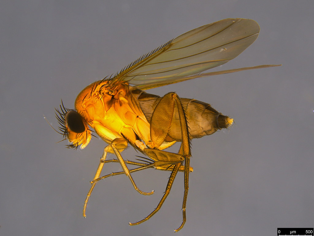 6a - Metopiinae sp.