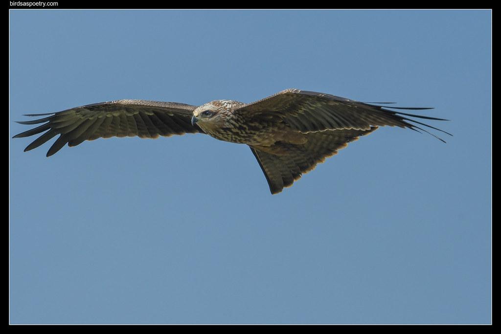 Black Kite: (J) Learning