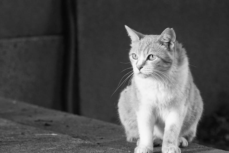 118Sony α7Ⅱ+TAMRON 28 200mm f2 8 5 6 RDX南池袋三丁目法明寺の猫 茶白