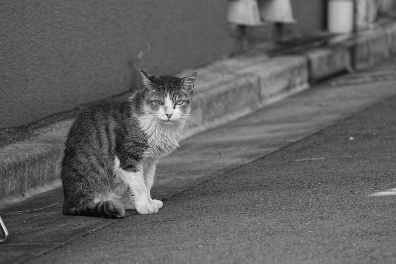 108Sony α7Ⅱ+TAMRON 28 200mm f2 8 5 6 RDX雑司ヶ谷三丁目七曲りの路地の猫 キジ白
