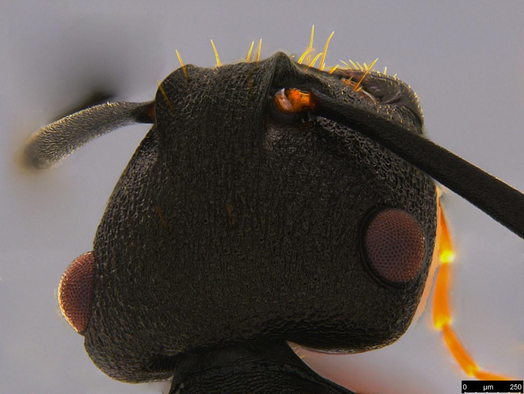 10c -  Polyrhachis phryne Forel, 1907