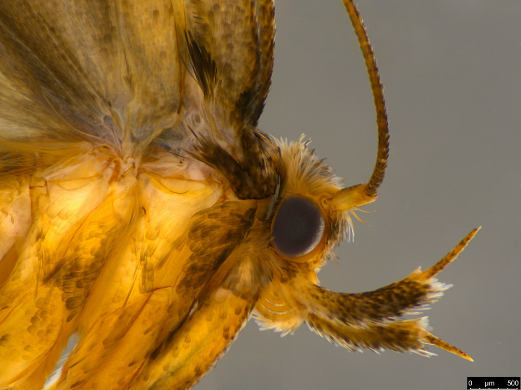 11b - Oecophorinae sp.