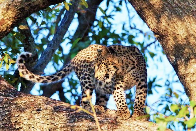 Leopard Cub Up A Tree (Panthera pardus)