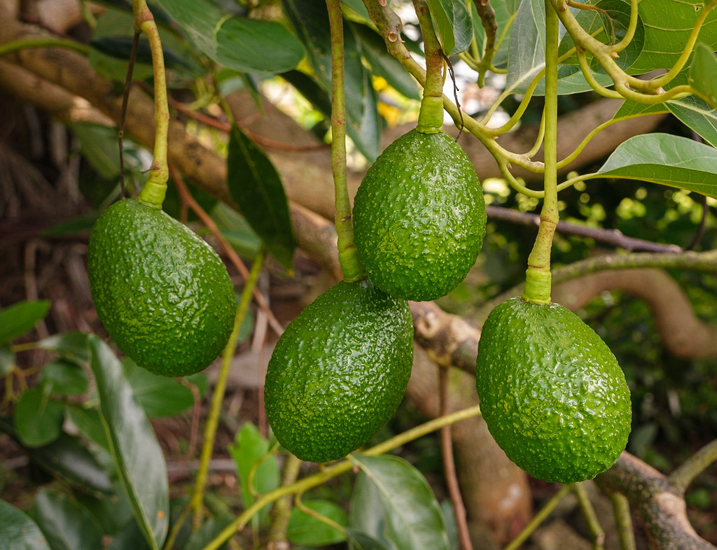 Wild avocados