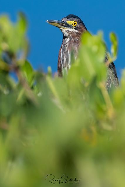 Green Heron | Butorides virescens | 2021 - 3