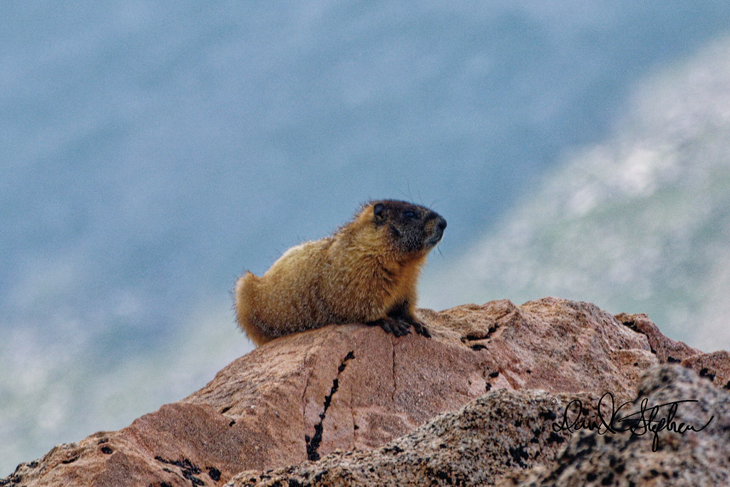 Yellow Bellied Marmot Poses On Rock In Front of Mountain Valley