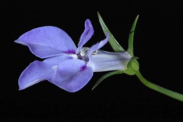 Lobelia cv. semitrailins sky blue