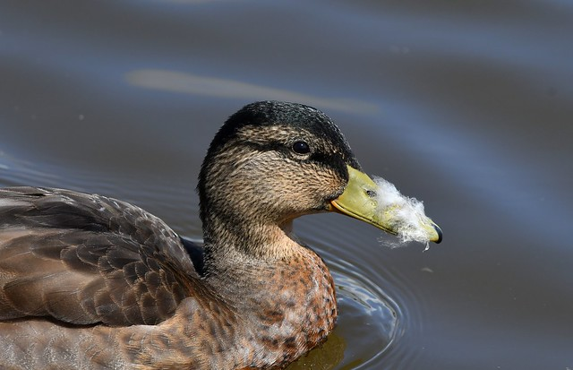 Gadwall Duck, with a feathery beak, on a walkabout in South Devon.