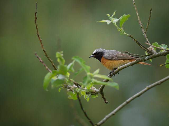 Gartenrotschwanz - Redstart