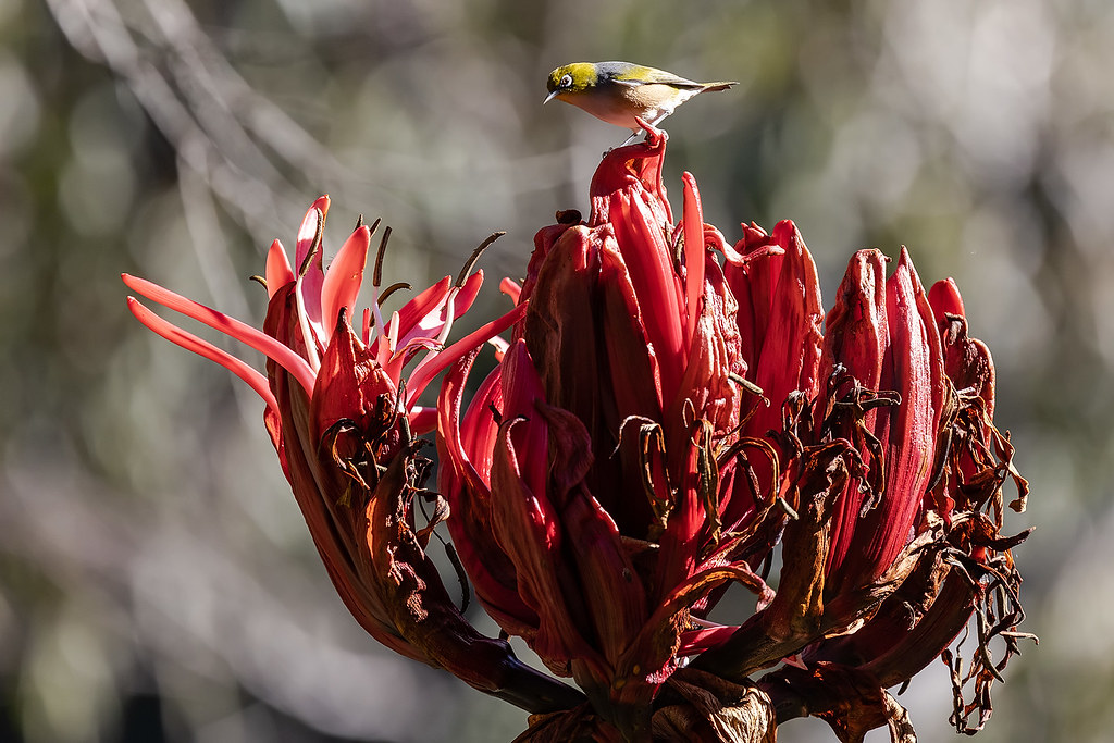 Siver-eye on Gymea Lily 220 8294