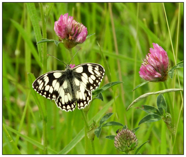 2021-0507 - Marbled White, Collyweston Quarries, Northants.